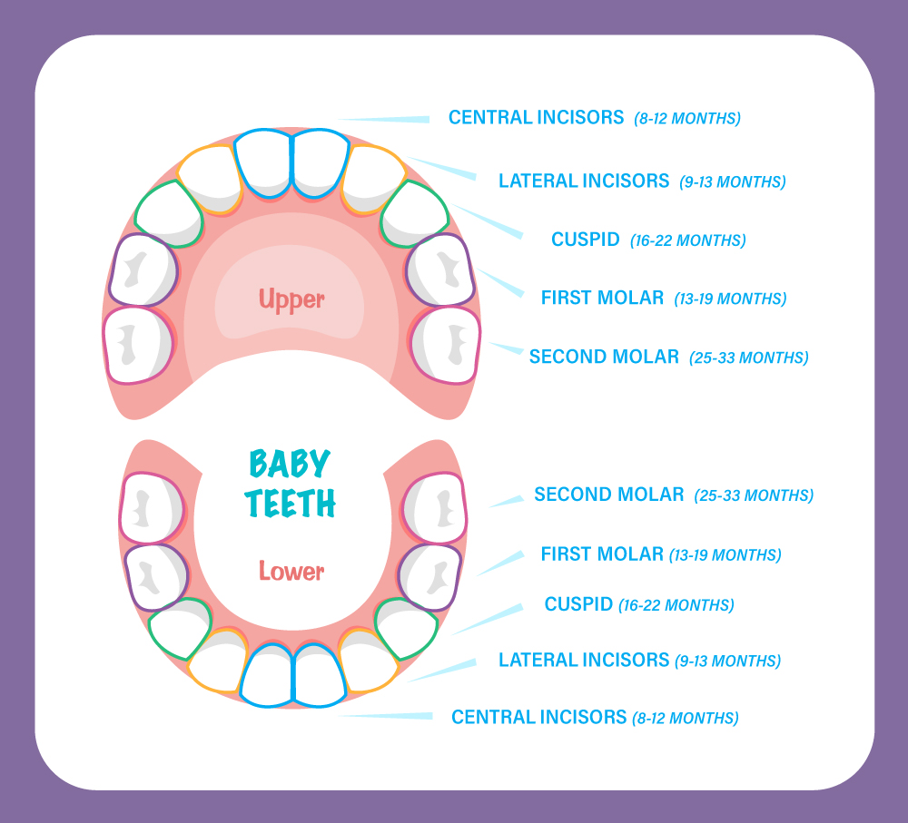 Smiling Seal Pediatric Dentistry baby teeth chart