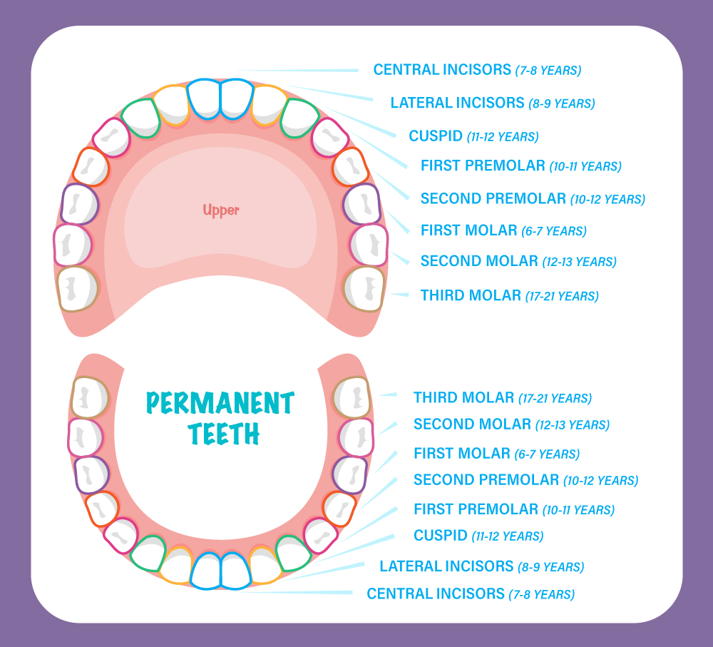 Smiling Seal Pediatric Dentistry permanent teeth chart